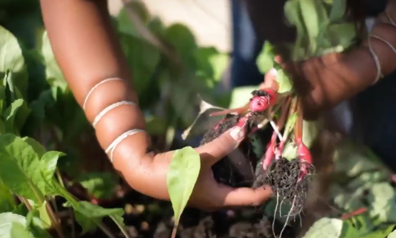 pulling vegetables out of the soil